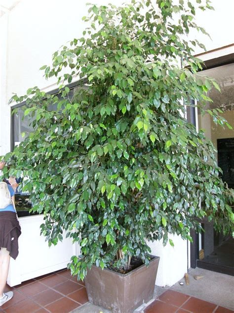 PlantFiles Pictures: Weeping Fig, Chinese Banyan (Ficus