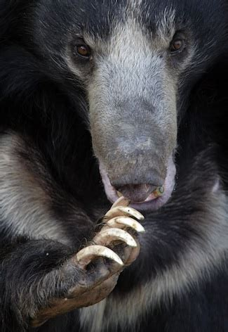 Sloth Bear — kidcyber