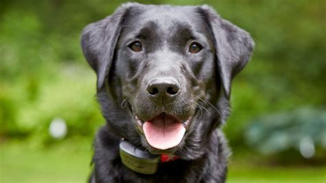 The Top 10 Most Popular Dog Breeds in US in 2017 | DogTails