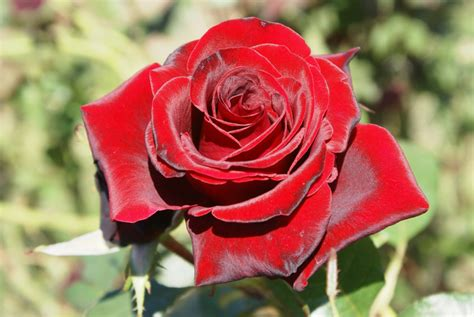 The Perfect Rose | Catalog - Red Roses